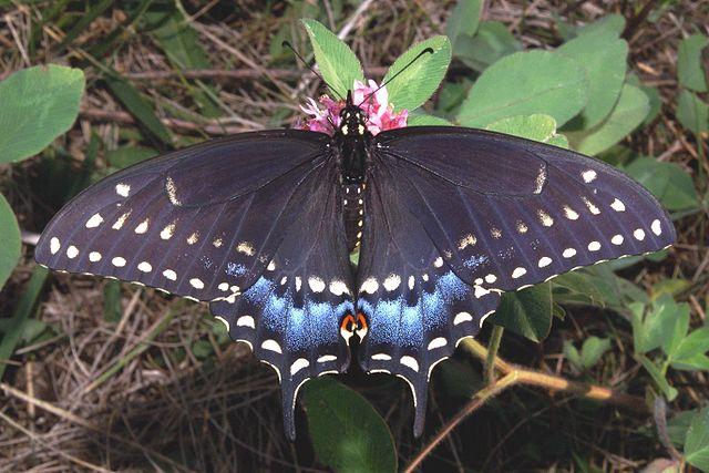 NASA Climate Kids :: Plant a butterfly garden! Black Swallowtail Caterpillar