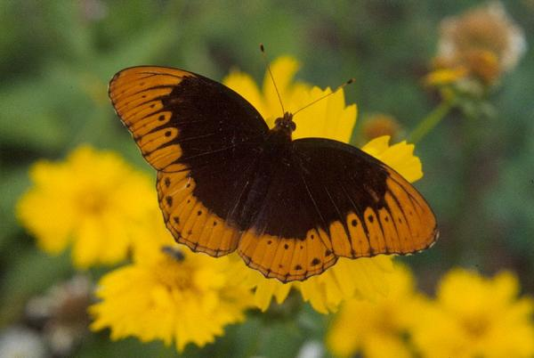 How To Make Monarch Butterfly Wings
