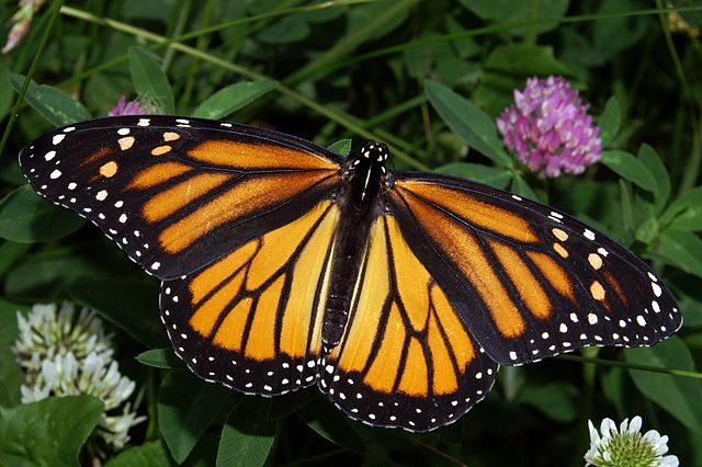 Monarch Butterfly, Orange With Black Veins And White Spots.