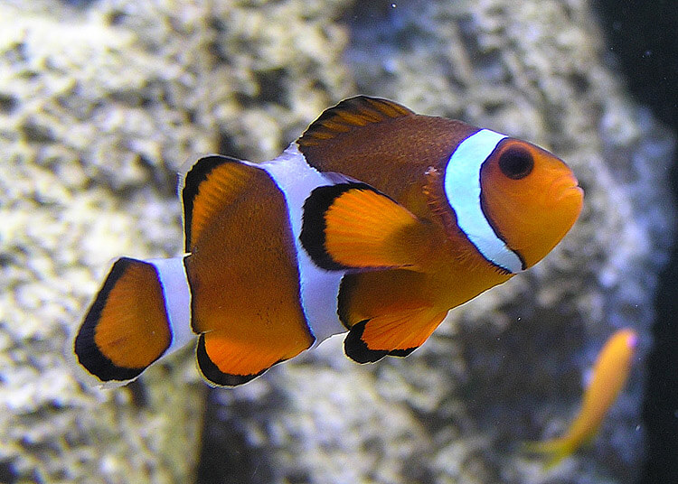 Photo of a clown fish, orange with white stripes.