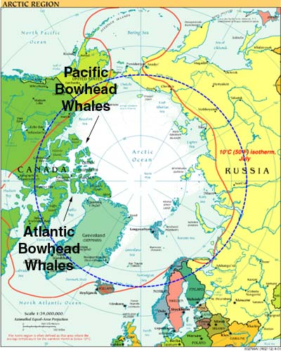 Top-down map of Arctic showing where the two poulations of Bowhead whales are meeting.