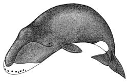 Drawing of a Bowhead Whale.
