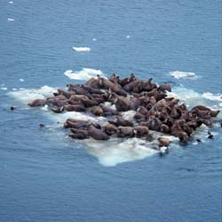 Thirty or forty walruses lounge on a small ice floe.