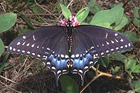 Charcoal colored butterfly with white spots, tinged with blue on its tail.