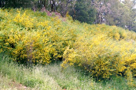 Field of bushes with yellow flowers.