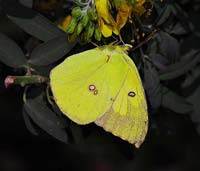 Yellow butterfly with two small white spots on wings.