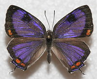 Purple butterfly with orange spots on edges of wings.