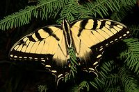 Yellow butterfly with short black stripes on wings' leading edges, and black band on back edges.