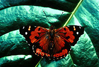 Butterfly is deep orange with black wingtips, marked with white spots.
