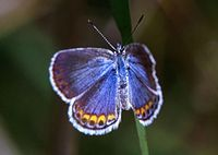 Shimmering blue butterfly with orange on edges of lower wings and a narrow white fringe all around.