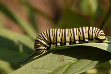 Monarch caterpillar, with black, yellow, and white stripes.