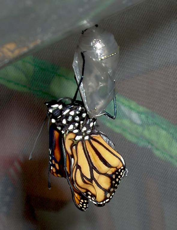 Adult Monarch Emerges From Chrysalis.