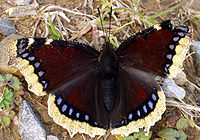 Very dark purple butterfly with white edges on its wings, and a row of blue spots just inside the white.