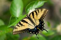 Yellow butterfly, with black stripes and wing borders, tinged with blue and a touch of red.