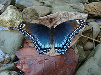 Purple or blue butterfly with black borders along its wing edges, tinged with red.