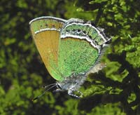 Green and yellow shimmering butterfly with two white stripes bordering its wings.