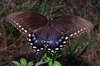 Dark brown butterfly with white spots along wing edges and some blue near the tail.