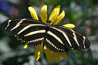 Butterfly with black and white stripes across the width of its wings.