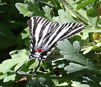 Butterfly has black and white stripes, with spots of red and blue on its tail.