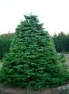 Photo of pine tree.