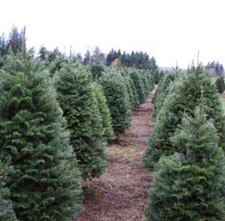 Straight rows of Christmas trees planted as a crop.