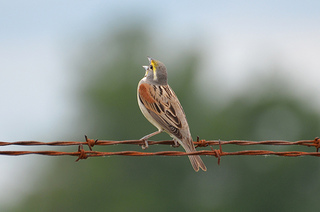 a dickcissel on a wire. credit: Dave Govoni