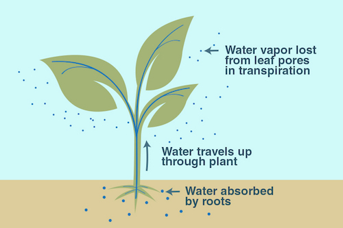 An illustration of the process of transpiration.
