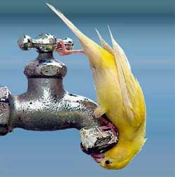 Little yellow bird perches upside-down on dry water faucet trying to get a drink.