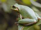 Squirrel tree frog, gray-green.