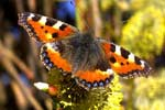 Orange, white, and black butterfly.
