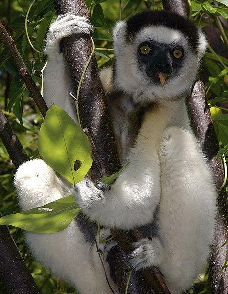 Nasa Climate Kids Lemur Moms