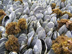 Photo of crowded bed of mussels under water.