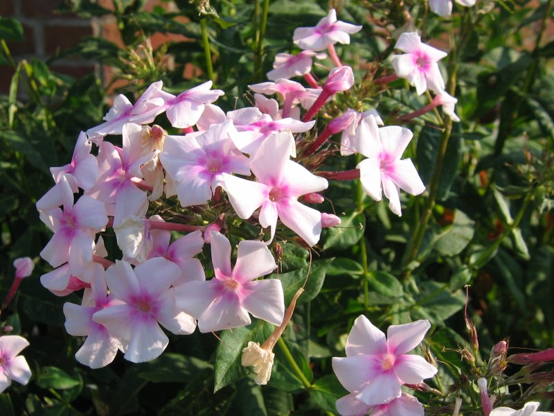Photograph of Phlox paniculata.