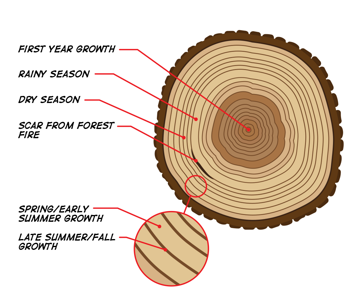 A diagram showing how the colors and widths of tree rings can provide information about past climate.