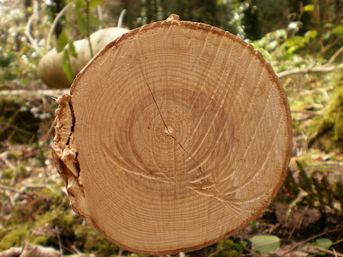 A photograph of the center of a tree that has been cut down.